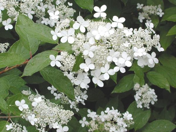 Valkoinen hortensian kukka